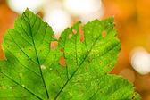 Damaged leaf — Stock Photo