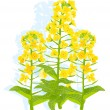 Canola flowers — Stock Vector