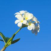 Frangipani, White flower on blue sky background — Stock Photo