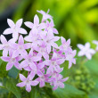 Pentas Lanceolata flower — Stock Photo