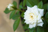 Beautiful white Rose flower — 图库照片