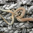 Lizard rope - Stock Photo