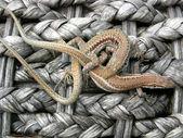 Lizard rope — Stock Photo