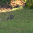Gray squirrel - Foto Stock