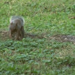 Gray squirrel — Stock Video