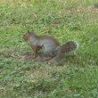 Stock Video: Gray squirrel