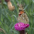 Stock Video: Tiger butterfly feeding on pink oleander