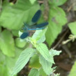 Blue dragonfly on leaf — Stock Video #13635579