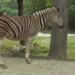Zebra — Stock Video #13636561