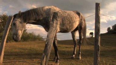 Due cavalli, guardando oltre una recinzione — Video Stock