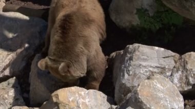 A brown bear on rocks — Stock Video