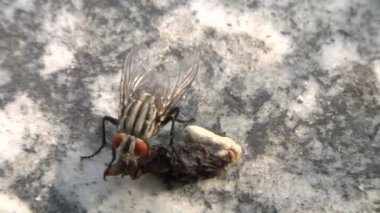 Extreme close-up of a common house fly — Stock Video