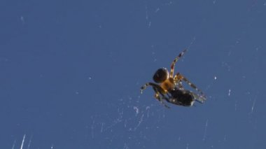 A Spider injecting venom into an insect caught in its web — Stock Video
