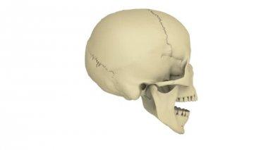 Skull model — Stock Video