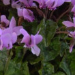 Cyclamen — Stock Video #18627955