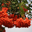 Branches of ripe rowan — Stock Photo