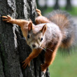 Red squirrel on a tree trunk — Stock Photo