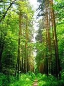 Caminho na floresta de pinho — Fotografia Stock