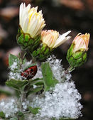 First Snow on the flowers of chrysanthemum — Stock Photo