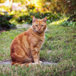 Orange cat — Stock Photo #16209291