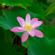 Twin flowers flowers, summer pond, in japan,Lotus in Asia is an important symbol of culture. — Zdjęcie stockowe