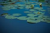 Lotus y estanques de loto. el estanque de lotos. hay un montón de hojas de loto. en el parque. — Foto de Stock