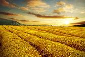 Thee plantage in de herfst zonsondergang — Stockfoto