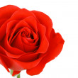 Single red rose flower isolated on white background — Stock Photo #19356171