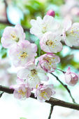 Sakura flower — Stock Photo