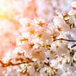 Blooming cherry tree in spring — Stock Photo