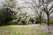 Cerisier en fleurs au printemps — Photo