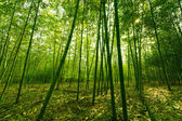 Bamboo forest, — Stock Photo