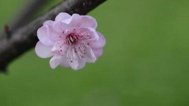 The plum blossom in spring — Stock Video