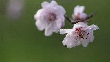 La flor del ciruelo en primavera — Vídeo de Stock