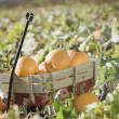 Wagon full of pumpkins in pumpkin patch — Stock Photo #13221238