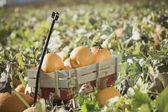 Wagon full of pumpkins in pumpkin patch — Stock Photo