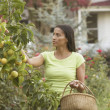 Stock Photo: Africwompicking fruit with basket