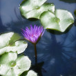 Close up of purple lily and lily pads — 图库照片