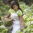 Woman picking vegetables in garden — Foto de Stock