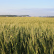 Beautiful stalks of a grain plant - oats - Stock Photo