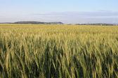 Vackra stjälkar av ett korn växt - havre — Stockfoto