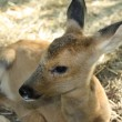 Young deer. Was born one month ago. — 图库照片