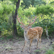 Graceful animal - a spotty deer with the big horns. — ストック写真