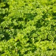 Stock Photo: Spice - parsley