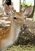 Young deer - one year. — Stock Photo