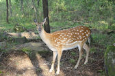 Female of a spotty deer in wood. — Stock Photo