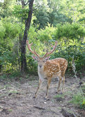 Graceful animal - a spotty deer with the big horns. — Stock Photo