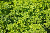 Spice - parsley — Stock Photo