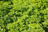 Spice - parsley — Stock Photo