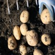 Royalty-Free Stock Photo: Manual excavation of a potato